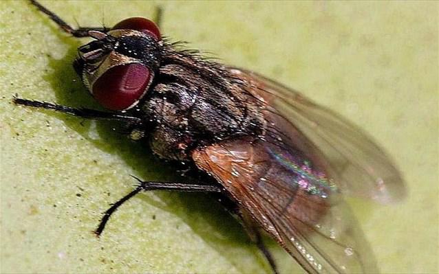 Οικιακή μύγα – Musca domestica L