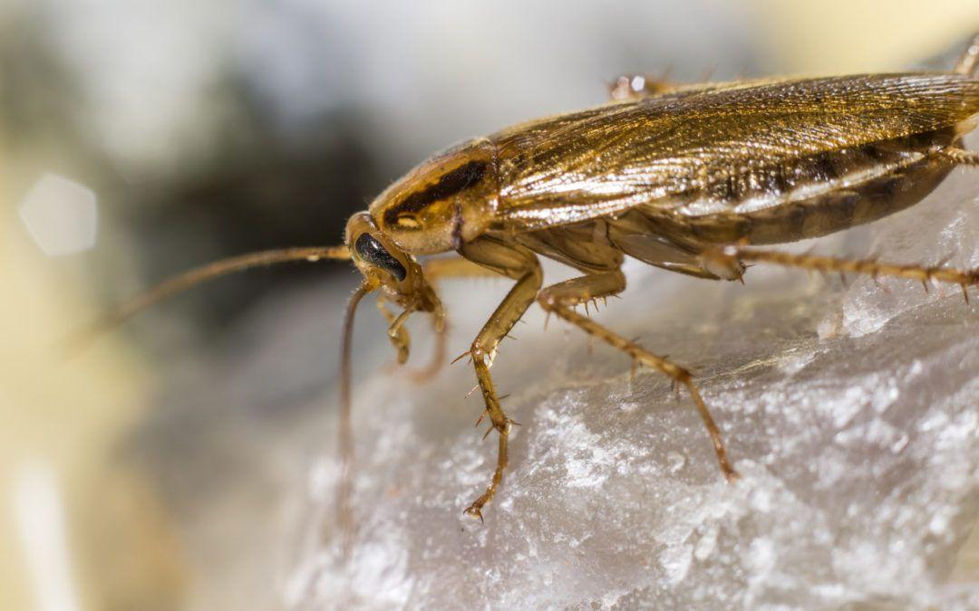 Γερμανική κατσαρίδα (Blattella germanica- Linnaeus)